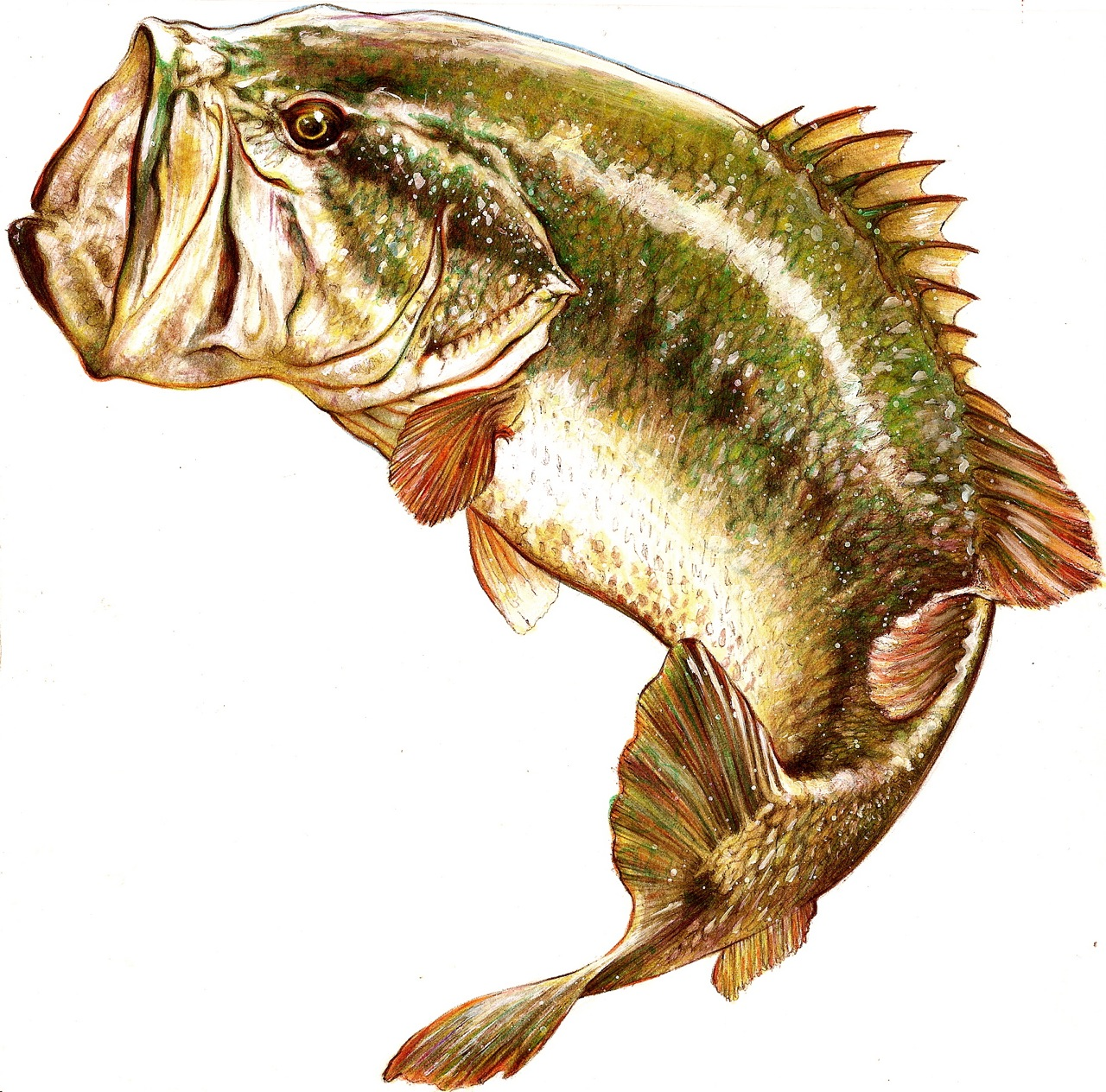 largemouth bass jumping drawing wallpapers background